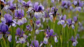 de irissenpurple van bloemeninstallaties op het gebied stock videobeelden