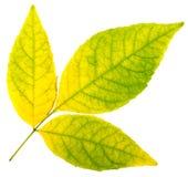 De isolatie van de herfstbladeren Stock Afbeelding