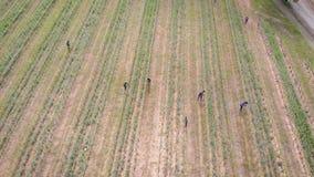 De Italiaanse arbeiders geven om installaties op landbouwgebied in de zomerdag, satellietbeeld van hoogte stock footage
