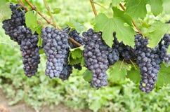 De Italiaanse Druiven van de Rode Wijn Nebbiolo op de Wijnstok #3 stock foto's