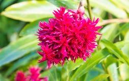 De jätte- alpiniasna blommar, sett i den Martinique ön royaltyfri foto