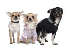 De jaar van drie Chihuahuas, 1 en 3 oud stock foto