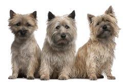 De jaar van steenhoop Terriers, 12 en 2 oud, het zitten Royalty-vrije Stock Foto
