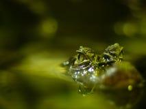 De jacht in de mangrove? Stock Afbeelding
