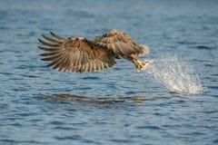 De jacht Eagle Royalty-vrije Stock Foto