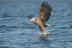 De jacht Eagle Stock Afbeeldingen