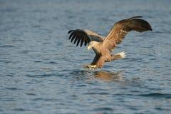De jacht Eagle Stock Afbeelding