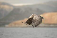 De jacht Eagle Royalty-vrije Stock Foto's