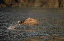 De jacht Eagle Stock Foto's