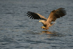 De jacht Eagle Royalty-vrije Stock Afbeelding