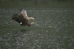 De jacht Eagle Stock Fotografie
