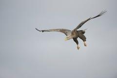 De jacht Eagle in een Duikvlucht Stock Afbeeldingen