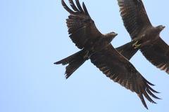 De jacht Eagle in hoge hemel Stock Foto