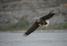 De jacht Eagle met Vangst Stock Afbeelding