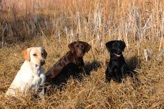 De jacht Gele, Zwarte, en Bruine Labrador Royalty-vrije Stock Foto's