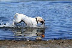 De jacht Labrador Royalty-vrije Stock Afbeelding