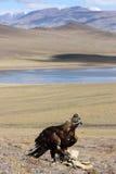 De jacht met gouden adelaar in Mongoolse woestijn. Stock Foto's