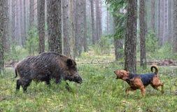 De jacht met hond op everzwijn stock afbeeldingen