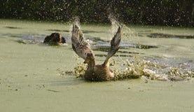 De jacht op eenden. Royalty-vrije Stock Foto's