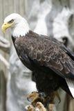 De Jacht van de adelaar Royalty-vrije Stock Afbeelding