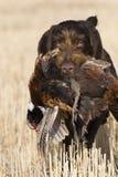 De Jacht van de fazant royalty-vrije stock fotografie