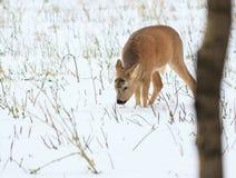 De jacht van de foto voor herten (Capreolus). Stock Foto's