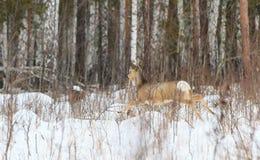 De jacht van de foto voor herten (Capreolus). Royalty-vrije Stock Afbeeldingen