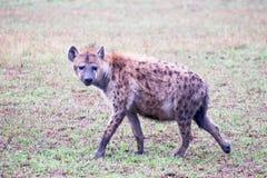 De jacht van de hyena Stock Afbeeldingen