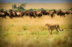 De jacht van de jachtluipaard Royalty-vrije Stock Fotografie