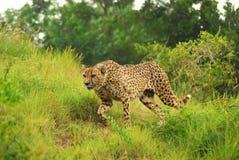 De jacht van de jachtluipaard royalty-vrije stock afbeeldingen