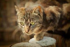 De jacht van de kat Stock Afbeeldingen