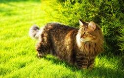 De jacht van de kat Stock Foto