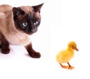 De jacht van de kat aan eendje Stock Afbeeldingen
