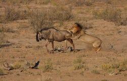 De jacht van de leeuw in motie Royalty-vrije Stock Fotografie