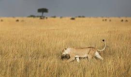 De jacht van de leeuwin Stock Afbeelding