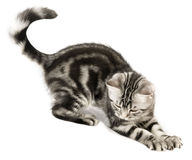 De jacht van het katje Stock Foto