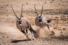 De jacht van de Oryxwoestijn stock foto