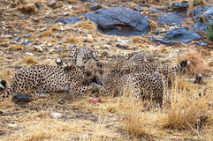 De jacht wilde Afrikaanse Jachtluipaarden in de savanne van Namibië Royalty-vrije Stock Foto