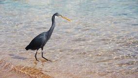 De Jachten van de Ertsaderreiger voor Vissen op het Strand van het Rode Overzees in Egypte Langzame Motie stock video