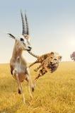 De jachtgazelle van de jachtluipaard op de savanne van Afrika Stock Afbeelding