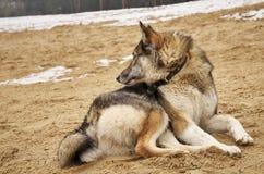 De jachthond kijkt uit voor zijn prooi stock fotografie