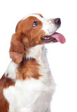 De jachthond van Nice Stock Afbeelding