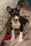 De jachthond van puppybasenji Stock Foto's