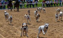 De jachthonden bij een nagel tonen royalty-vrije stock fotografie