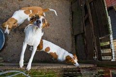 De jachthonden van de vos in pen Royalty-vrije Stock Foto's