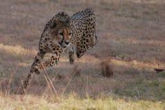 De jachtjachtluipaard in Zuid-Afrika royalty-vrije stock fotografie