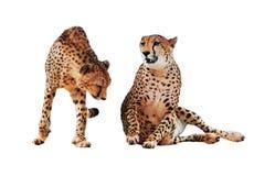 De jachtluipaard bevlekte geïsoleerd paar royalty-vrije stock afbeelding