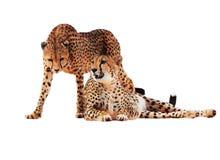 De jachtluipaard bevlekte paar bij wit wordt geïsoleerd dat stock fotografie