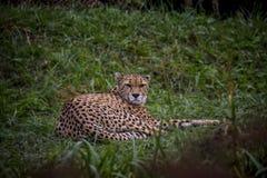 De jachtluipaard die op het gras liggen royalty-vrije stock fotografie