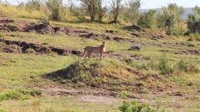 De jachtluipaard die zich op een heuvel bevinden en bekijkt het gebied op zoek naar prooi stock footage
